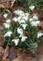 Galanthus nivalis double 25 bulbs